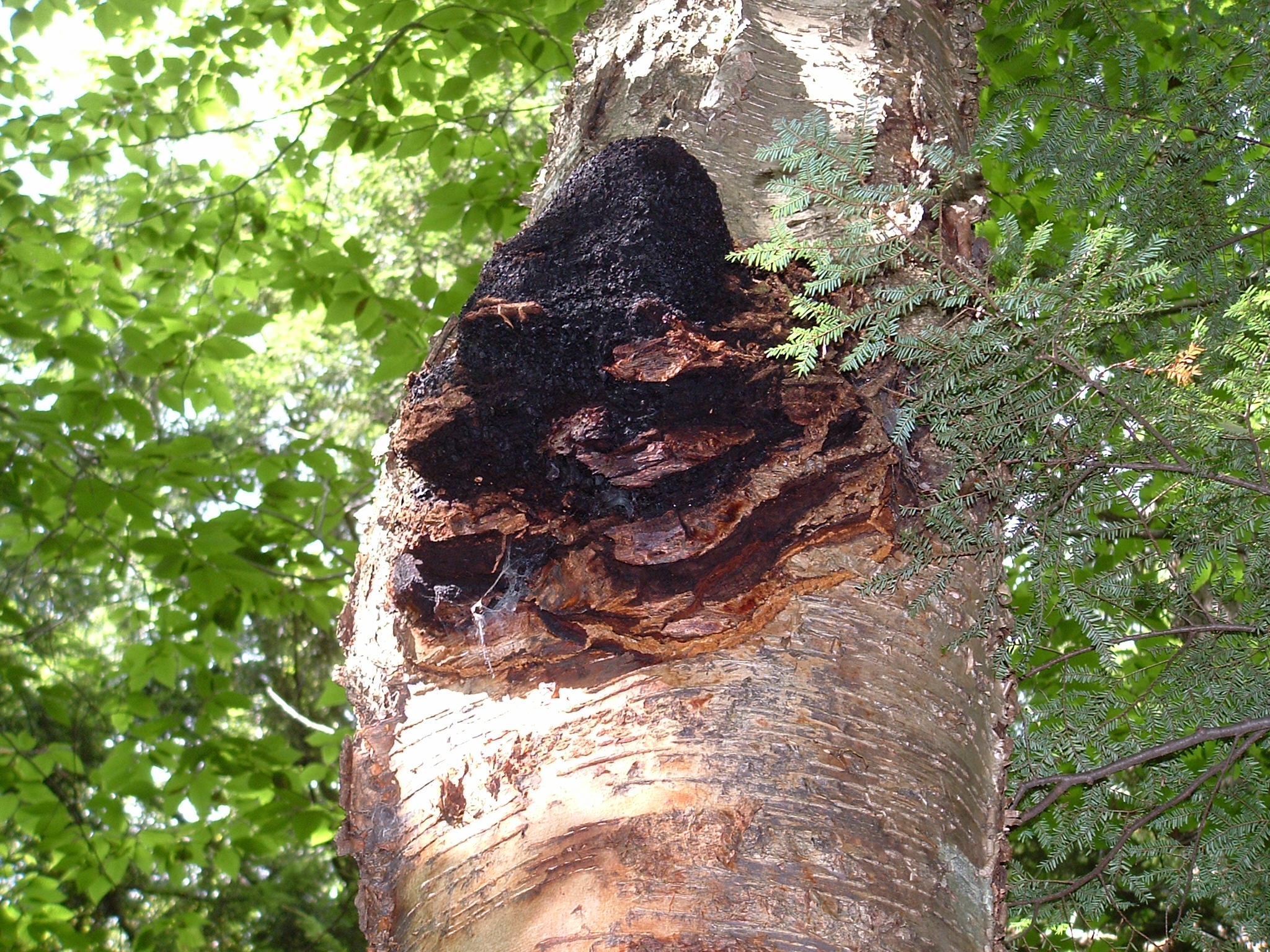 how to make chaga jelly